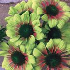 Green Envy™ Coneflower Flowers are a rare shade of green with magenta accents around the central cone. These unusual showpiece blooms can take the heat and even tolerate drought conditions. Decorative in borders as well as fresh and dried arrangements.