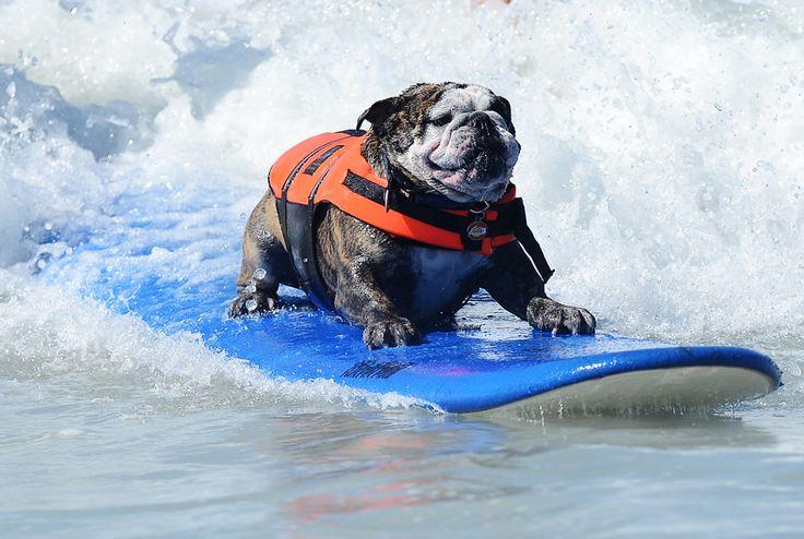 Sir Hollywood the English bulldog surfs waves