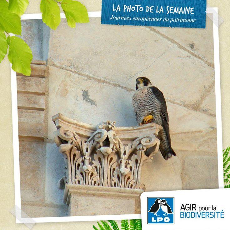 Les 20 et 21 septembre aura lieu la nouvelle édition des Journées européennes du patrimoine. Cette année, elles auront pour thème « Patrimoine culturel, patrimoine naturel », ce qui ouvre résolument le champ du patrimoine.  Plus d'info sur : http://www.lpo.fr/actualites/participez-aux-journees-europeennes-du-patrimoine  Faucon pèlerin (Falco peregrinus) - Crédit photo : Fabrice Croset