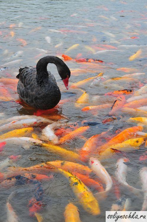 Черный лебедь в пруду среди карпов кои