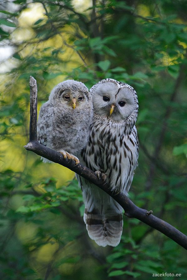 A fledgeling ural owl chick with its mother.