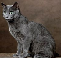 Pilsner!!   Russian Blue Cat is a cat breed that has a silver-blue coat. These cats are known to be highly intelligent and playful, but tend to be timid around strangers. They also develop close bonds with their human companions and are highly sought after due to their personalities and unique coat.
