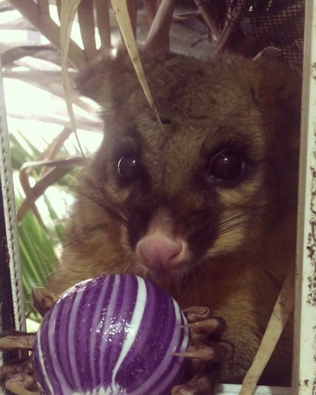 Here's about a minutes worth of a possum enjoying a novelty sized lollipop, because you deserve more cute in your life ✨ #pierrethepossum #cuteanimals #candy #wildlife #australiananimals #australia #brushtailpossum #toocutetuesday #toocute #sydneylocal #cute #possum #eatcandy