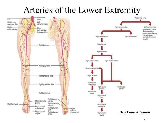 lower extremities diagram pin on anatomy  pin on anatomy