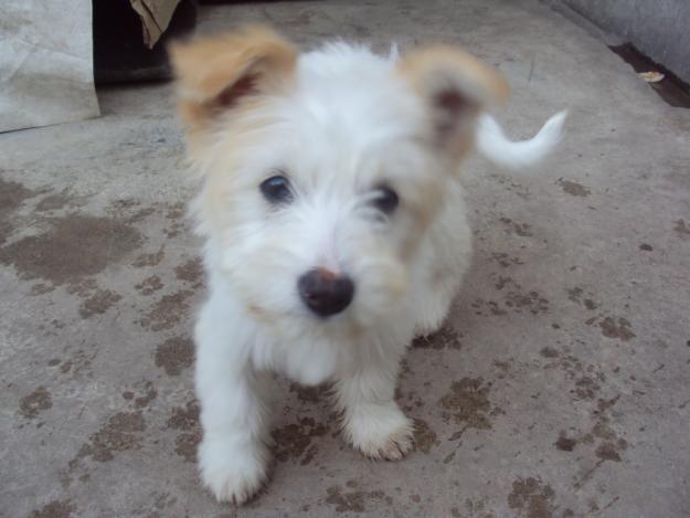 poodle terrier mixPoodles Cor-De-Rosa, Poodles Terry Mixed, Baby, Poodles Terriers Mixed