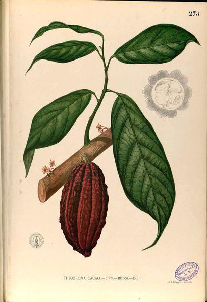 Wikimedia Common's free Theobroma Cacao botanical print  #botanical #print…