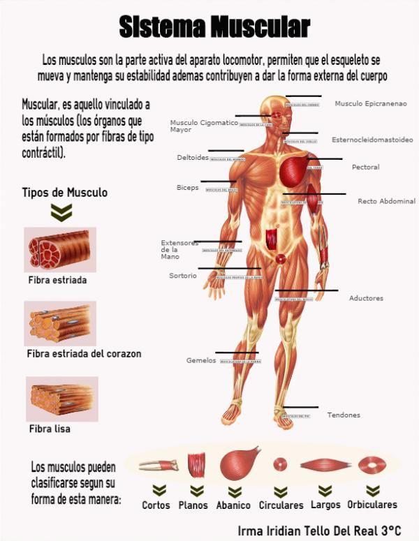 "Infografia No.3 SISTEMA MUSCULAR - IRMA IRIDIAN TELLO DEL REAL 3° ""C"""