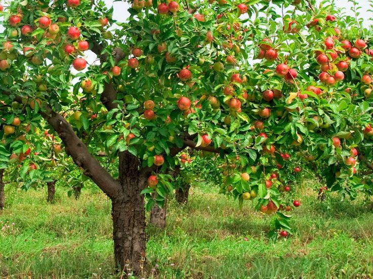 В любом саду можно найти хотя бы одну старую яблоню. Вроде и расстаться с нею жалко, и плодов она почти уже не приносит. Выход один: омолодить дерево.  Есть правила, которые должен знать садовод, при…