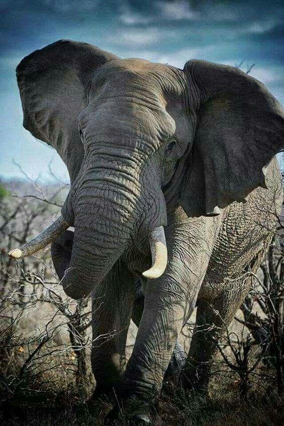 Elephant charge, Kruger National Park