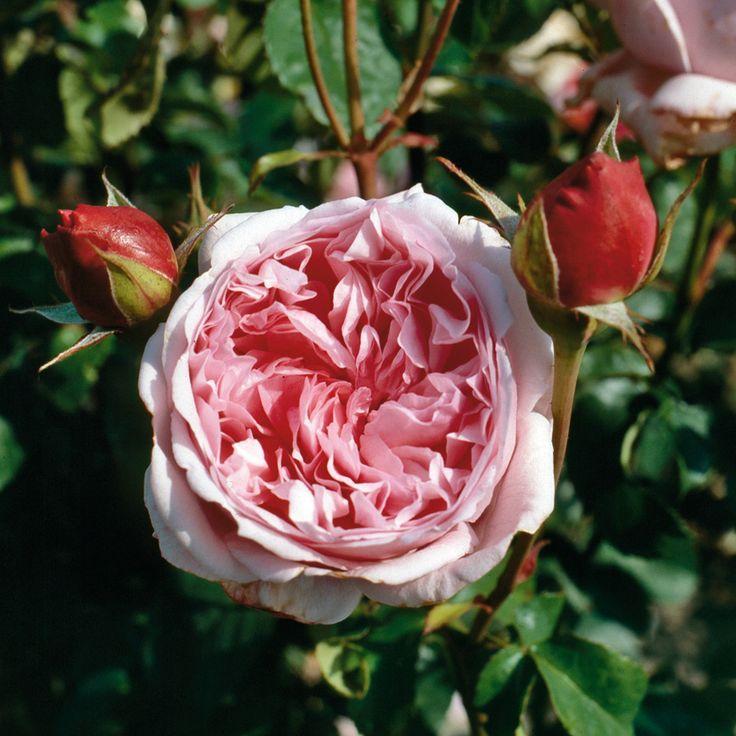 Bild: Englische Rose 'Pretty Jessica'; Seite: 2834.10388 ...