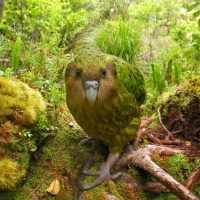 """""""Without Don Merton, the Kakapo, the Chatham Island Black Robin and other unique native New Zealand birds would probably have become extinct,"""""""