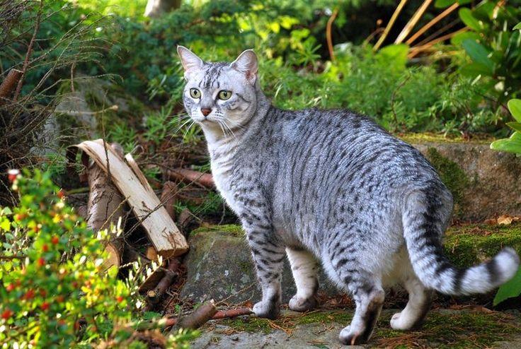 Египетская мау (фото): настоящая кошачья экзотика Смотри больше http://kot-pes.com/egipetskaya-mau-foto-nastoyashhaya-koshachya-ekzotika/