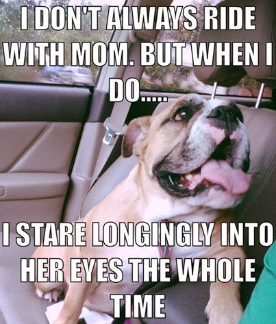Bulldog Loves to Stare Longingly into Mom's eyes during car trips