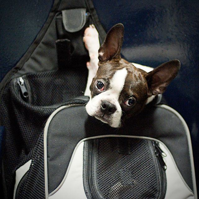 Kino, o Terrier Boston de Ricky e Ana, voltando ao Rio ontém à noite na barca na mochila dele.  Kino, Ricky and Ana's Boston Bull Terrier, returning to Rio on the ferry last night in his rucksack.   She is a successful and versatile television and film actress, as well as a singer, award nominated musical theatre performer, choreographer ,voice artist and writer. - www.jogalloway.com