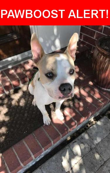 Is this your lost pet? Found in Houston, TX 77019. Please spread the word so we can find the owner!  Sweet female dog found this morning with green/blue collar on. Appears to be a mix between a French bulldog and pit bull. VERY sweet little girl who is unfortunately not chipped.   Nearest Address: Near Wilson St & Oneil St