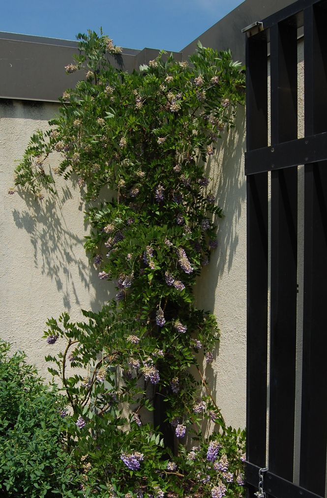 American wisteria is a twining vine is a native to the mid-Atlantic region that will climb structures like trellises, arbors, fences, and small columns. Less invasive than Asian varieties.Trellis