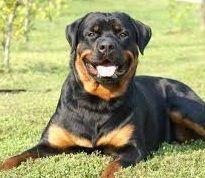 ROSINSKIBLOG - Rottweiler