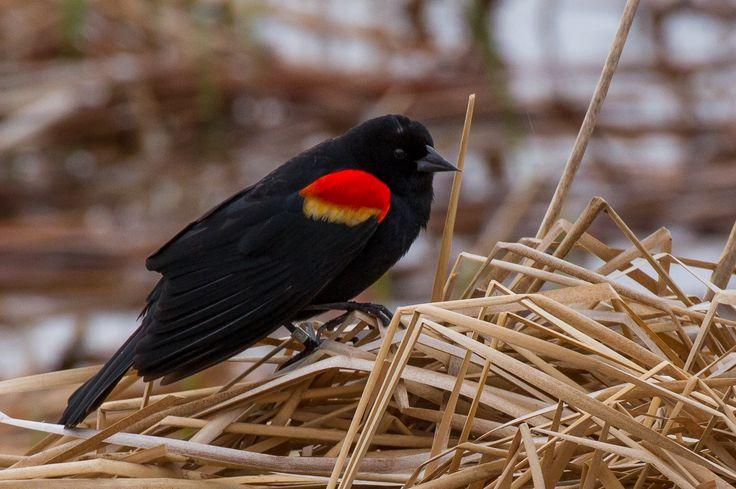 Red-Winged Blackbird ©Neal Zaun. Wild Bird Company - Boulder, CO. Saturday Morning Bird Walk at Sombrero Marsh - April 18, 2015