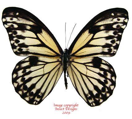 Zethera hestioides (Philippines)