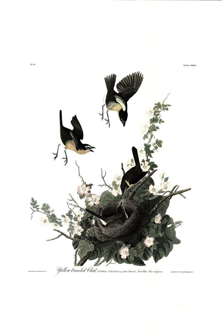 Princeton Audubon Yellow Breasted Chat