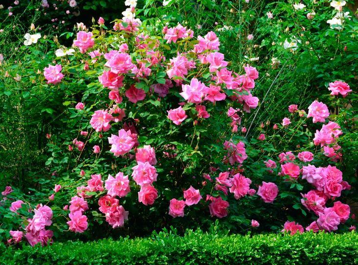 Кустовые розы относится к роду шиповников, которые появились на Земле примерно 40 млн. лет назад. На сегодняшний день данный род объединяет примерно 250 видов различных растений и больше 200 тыс. сорт...