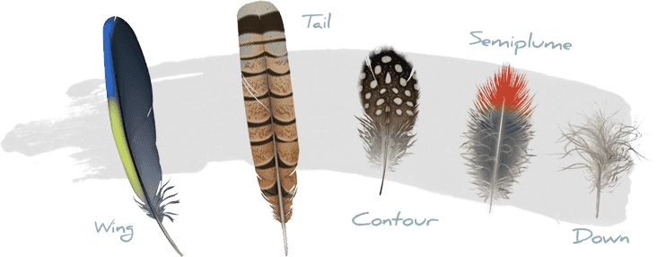 An intimate look at feathers, in a new website from Cornell Lab of Ornithology. Amazing. (A Way To Garden)