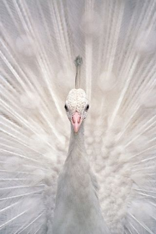 White peacock. Stunning.