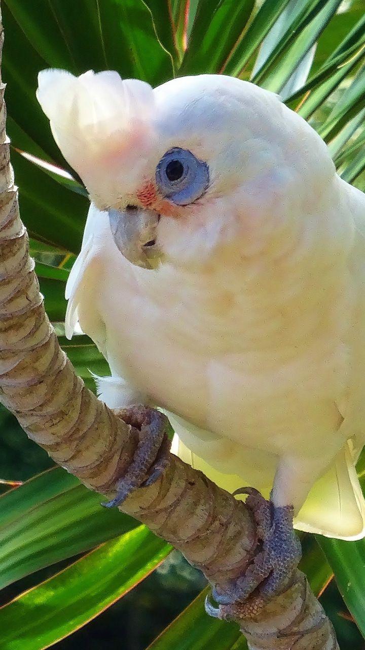 White Parrot Cockatoo Bird 720x1280 Wallpaper Cockatoo Bird Parrots Art