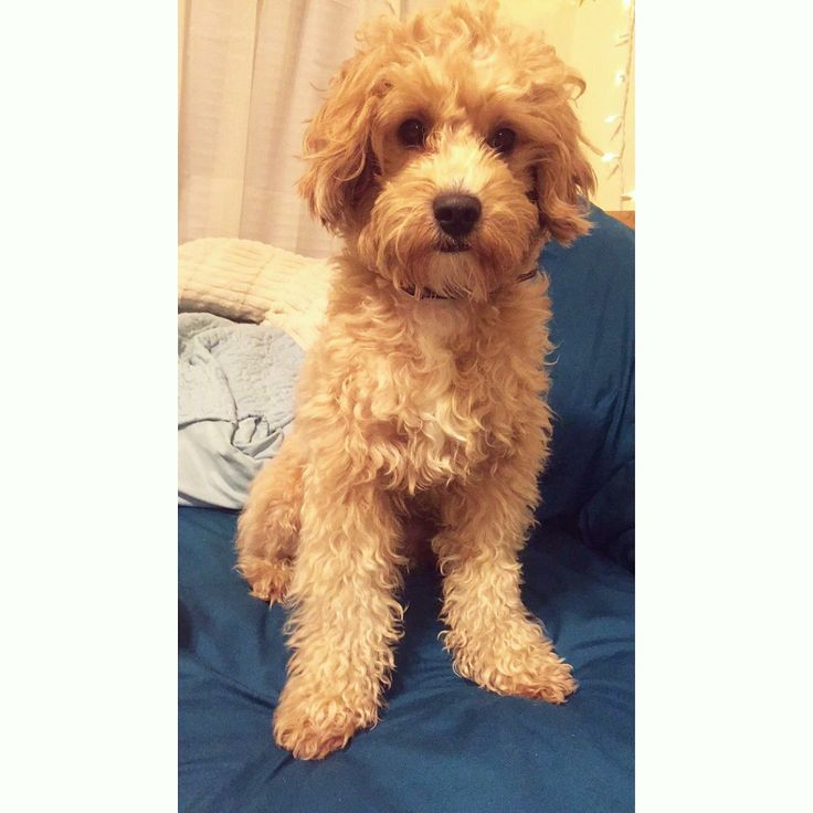 Barney the Cavapoo! #cavapoo #cavoodle #grooming #dog #puppy #adorable #rescue
