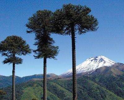 Árbol Nacional de Chile - ARAUCARIA