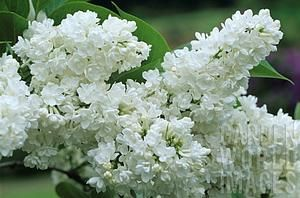Syringa vulgaris 'Miss Ellen Wilmott' Miss Ellen Willmott Lilac from E.C. Brown's Nursery