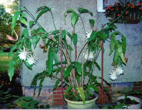 Hylocereus undatus - Night Blooming Cereus, Dragon Fruit ... |Night Blooming Cereus Cactus Care