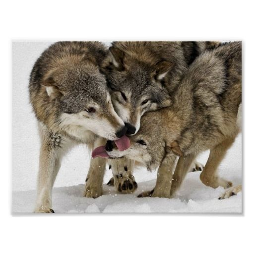 18 best stuff from national geographic images on pinterest pack of wolves poster m4hsunfo