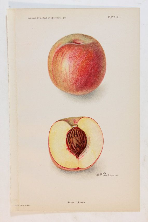 vintage antique botanical chromolithograph print of