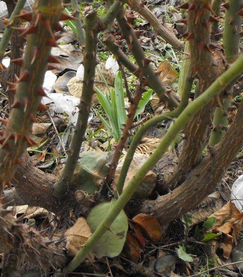 Metszés: A rózsák metszésének alapjai