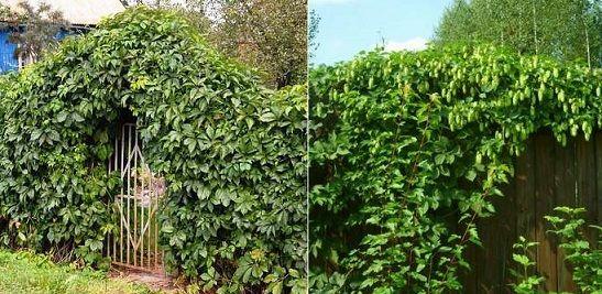 Как посадить хмель в саду