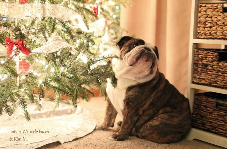 """baggybulldogs: """" Waiting for Santa Thank you Kimmie Kim for a beautiful picture! """"Patience is not simply the ability to wait - it's how we behave while we're waiting."""" - Joyce Meyer """" bb"""