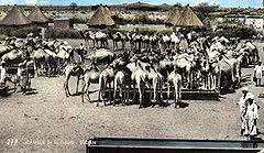 Wielbłądy w Al-Ubajjid/ El-Obeid (lata 60. XX w.)