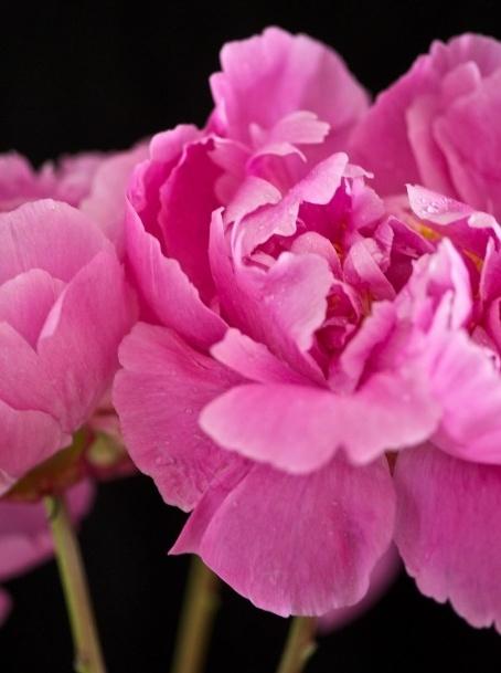 Peony Summer #flowers #peony