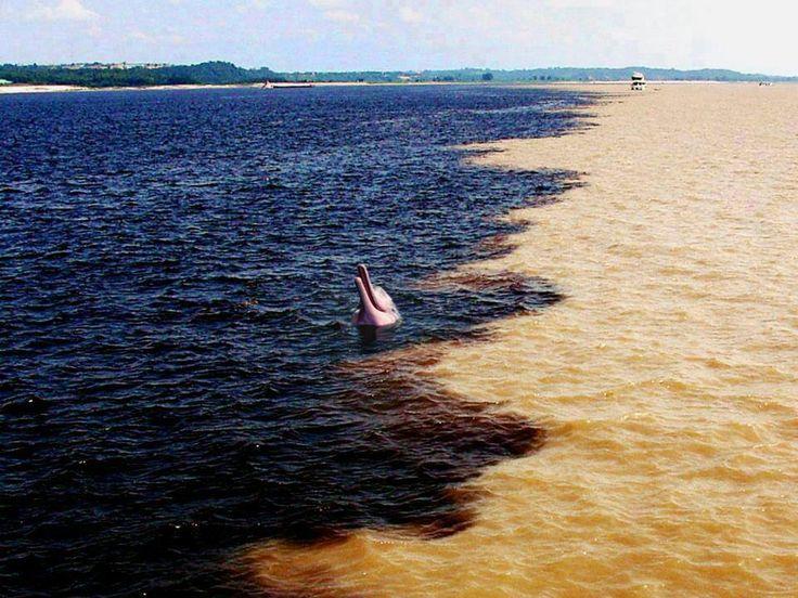 Boto cor de rosa no encontro do rio Amazonas com o rio Negro, Brasil.