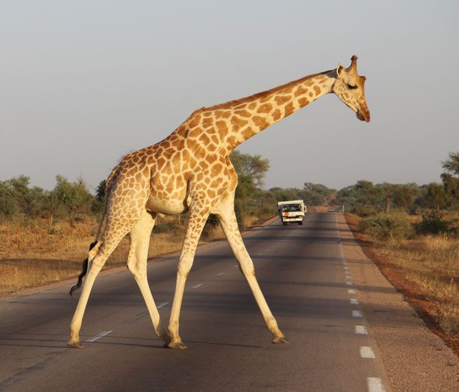 One of only 300 individuals remaining in the world, and now formerly recognised as endangered in their own right, this male West African giraffe risks crossing a busy road near Niger's capital Niamey. © Andy Tutchings