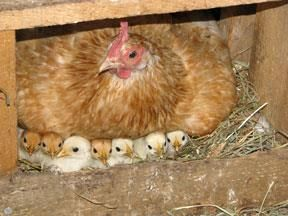 Mom was thought lost, but found with 12 chix!  Shared from Vicky Berry - Photos of The Chicken Chick at Egg Carton Labels by...