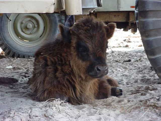 Texas breeder of miniature cattle - heifers, calves, cows and bulls for sale |