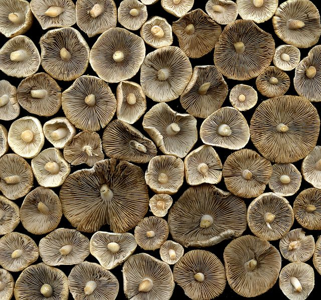 35929 mushrooms by horticultural art (flickr)