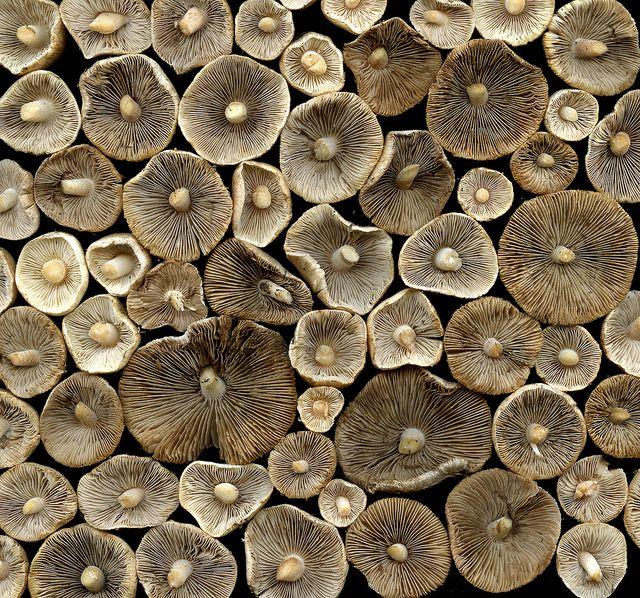 35929 mushrooms by horticultural art (flickr)