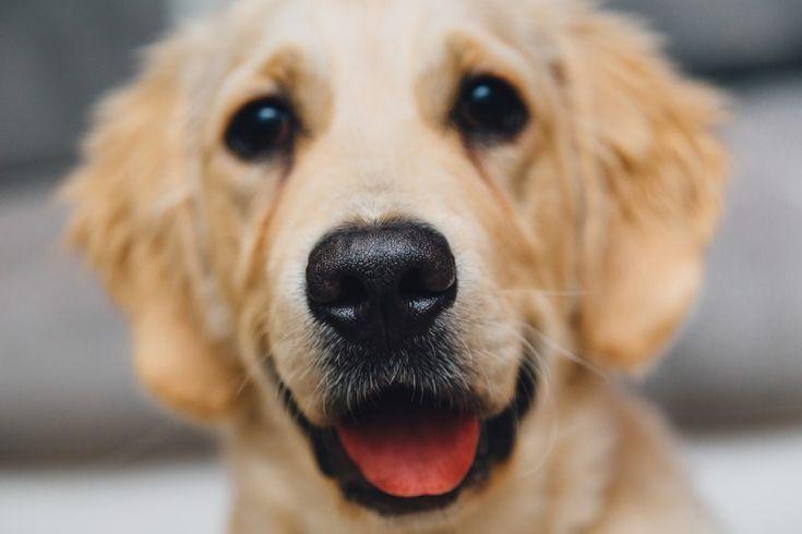 perro, mascota, labrador, golden retriever, mirando a la camara, vista de frente, cachorro, tierno, simpatico,