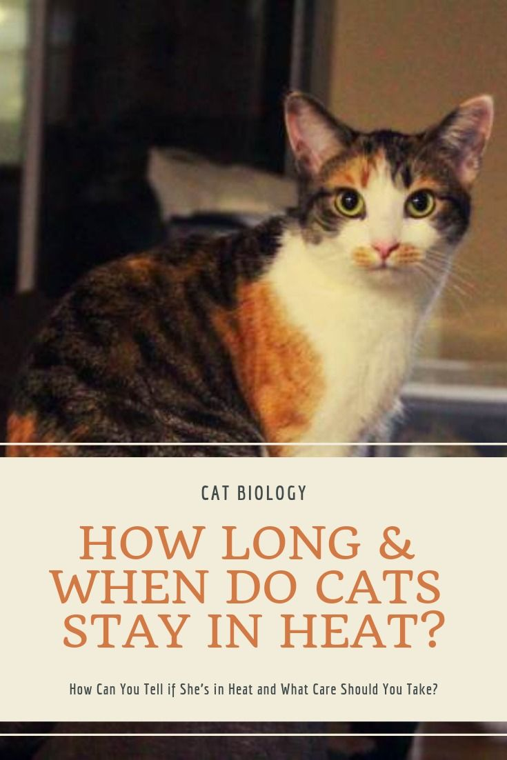 How Long When Do Cats Stay In Heat How Can You Tell If She S In Heat And What Care Should You Take Cats Cat In Heat Heat