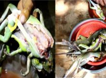 how-to-cooking-lizard-or-bang-kuoy-in-stung-treng-province-of-cambodia-1