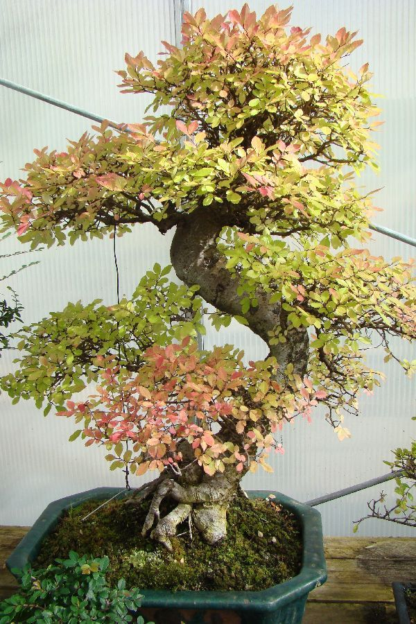 Herons Bonsai Nursery Near Lingfield Hints And Tips Bonsai Tree Care Bonsai Tree Outdoor Bonsai Tree