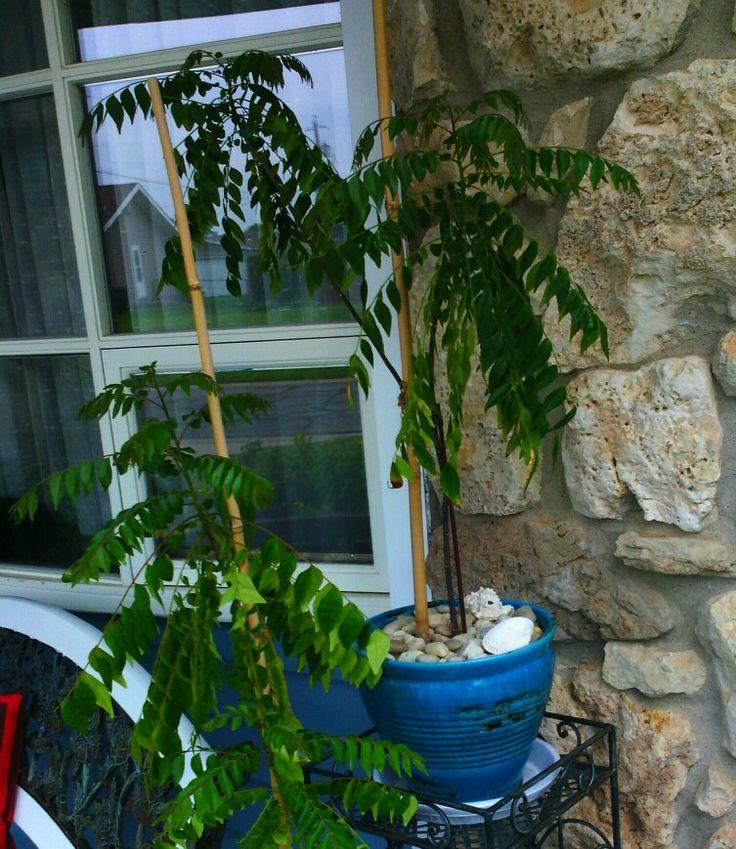 Murraya koenigii - Kari /Curry tree - this is my 3 year old tree
